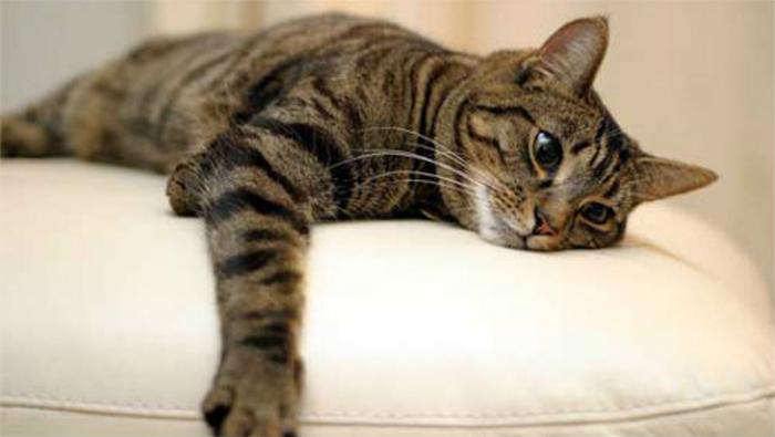 gatto manfredi